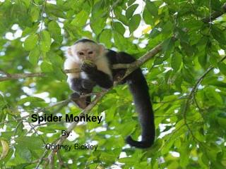 Spider Monkey By: 	Cortney Bickley