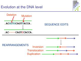 Evolution at the DNA level