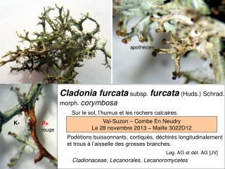 Cladonia furcata subsp. furcata (Huds.) Schrad. morph. corymbosa