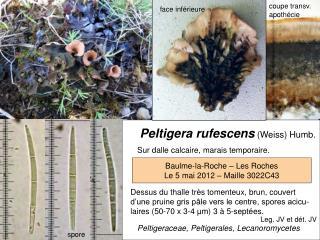 Peltigera rufescens (Weiss) Humb.