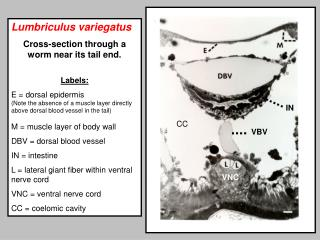 Lumbriculus variegatus Cross-section through a worm near its tail end.   Labels: