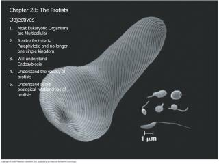 Chapter 28: The Protists Objectives Most Eukaryotic Organisms are Multicellular