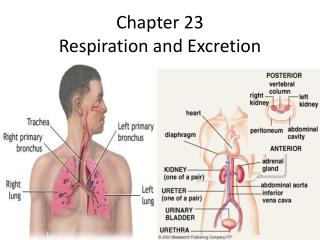 Chapter 23 Respiration and Excretion