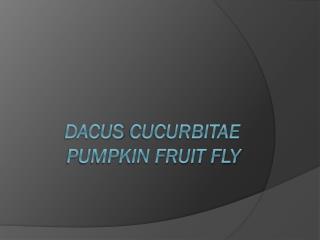 Dacus cucurbitae Pumpkin Fruit fly
