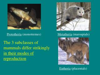 The 3 subclasses of mammals differ strikingly  in their modes of reproduction