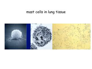 Mast cells in lung tissue