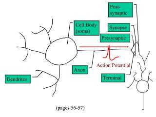 Cell Body (soma)