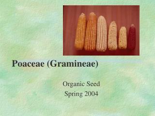 Poaceae (Gramineae)