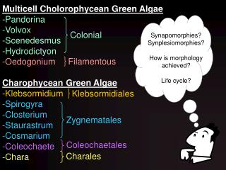 Multicell Cholorophycean Green Algae Pandorina Volvox Scenedesmus Hydrodictyon Oedogonium  Charophycean Green Algae -Kle