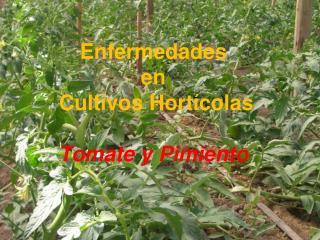 Enfermedades  en  Cultivos Hort�colas Tomate y Pimiento