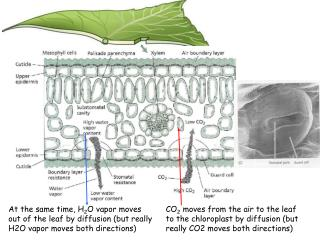 The diffusive movement of CO 2  into and out of a leaf can be described by  Fick's Law: