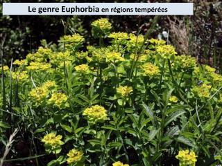 Le genre Euphorbia  en régions tempérées