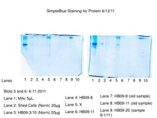 Blots 5 and 6: 6-11-2011 Lane 1: Mrkr 5 µ L Lane 2: Shed Cells (Norm) 20µg