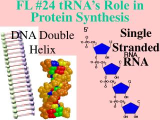 FL #24 tRNA's Role in Protein Synthesis