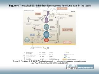 Figure 4  The apical ES–BTB–hemidesmosome functional axis in the testis