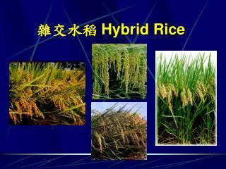 雜交水稻  Hybrid Rice