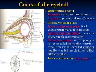 Coats of the eyeball