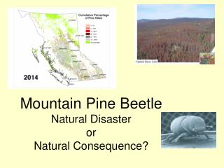 Mountain Pine Beetle Natural Disaster or Natural Consequence?