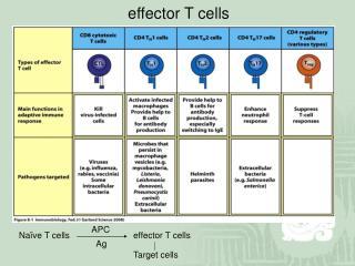 Naïve T cells