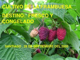 CULTIVO DE LA FRAMBUESA DESTINO:  FRESCO Y CONGELADO