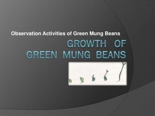 Growth   of    green  mung  beans