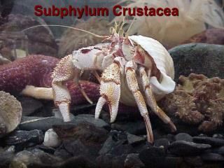 Subphylum  Crustacea
