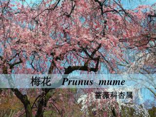 梅花   Prunus  mume
