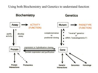 Using both Biochemistry and Genetics to understand function