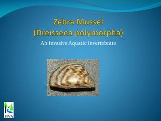 An Invasive Aquatic Invertebrate Zebra mussels are small ...