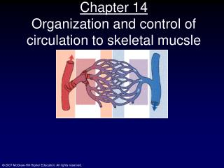 Chapter 14 Organization and control of circulation to skeletal mucsle