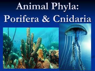 Animal Phyla: Porifera & Cnidaria
