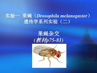 实验一  果蝇( Drosophila melanogaster ) 遗传学系列实验(二) 果蝇杂交 (教材 p75-81)