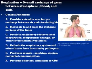 Respiration – Overall exchange of gases between atmosphere , blood, and cells. General Functions: