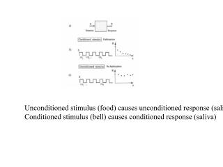 Unconditioned stimulus (food) causes unconditioned response (saliva)