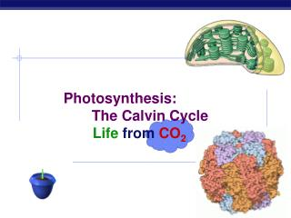 Photosynthesis: 	       The Calvin Cycle  		Life from CO 2