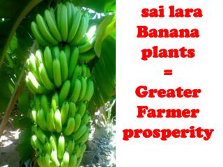 sai lara Banana plants  = Greater Farmer prosperity