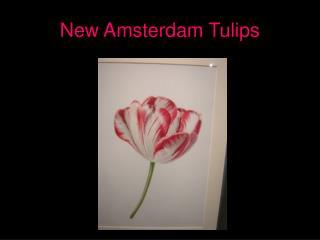New Amsterdam Tulips