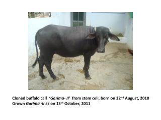 Cloned buffalo calf  � Garima- II�   from stem cell, born on 22 nd  August, 2010