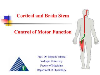 Cortical and Brain Stem  Control of Motor Function