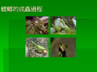 螳螂的成蟲過程