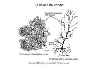 La cellule neuronale