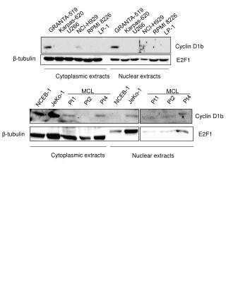 Cyclin D1b