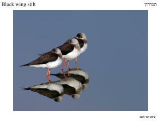 Black wing stilt