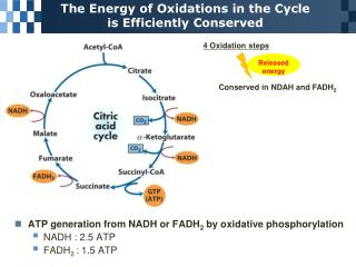 The Energy of Oxidations in the Cycle is Efficiently Conserved