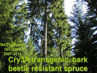 Cry3A transgenic, bark beetle resistant spruce