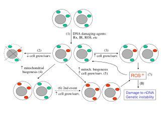 (1)   DNA damaging-agents:         Rx, IR, ROS, etc