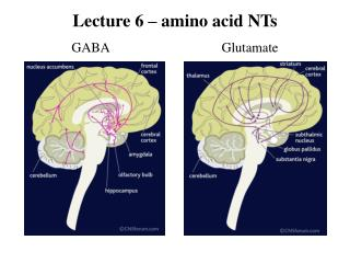 Lecture 6 – amino acid NTs GABA                                 Glutamate