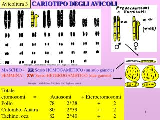 Totale cromosomi=    Autosomi+ Eterocromosomi Pollo    78 2*38 +2