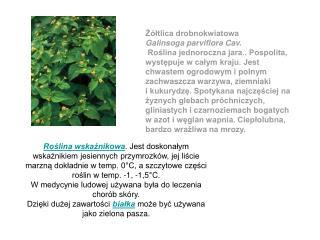 Żółtlica drobnokwiatowa  Galinsoga parviflora Cav.