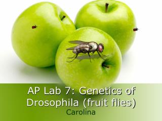 AP Lab 7: Genetics of Drosophila fruit flies
